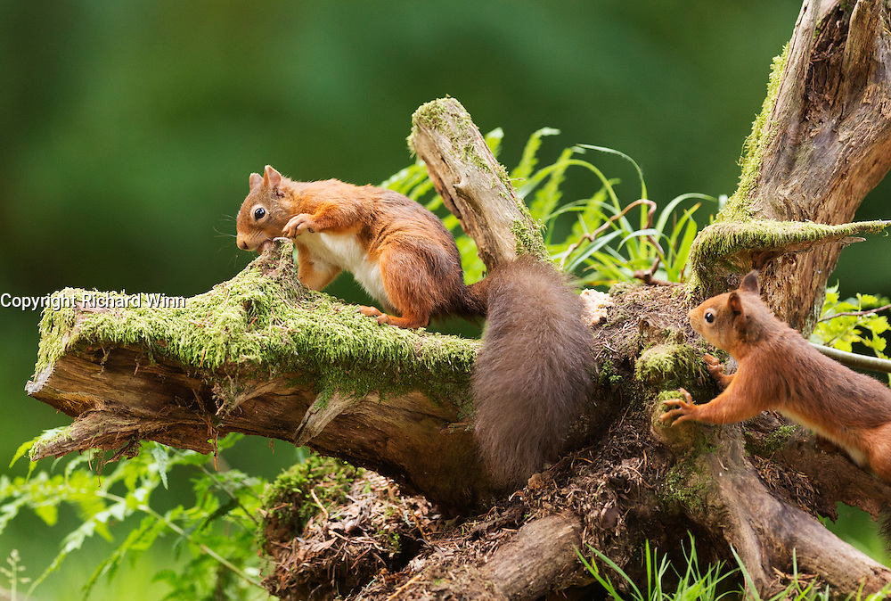 One red squirrel collecting hazlenuts from a tree stump at the Aigas Field Centre, while a second squirrel looks on.