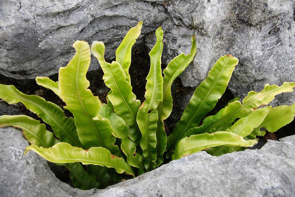 Hart's tongue fern ( Asplenium scolopendrium ) Ireland Burren national park