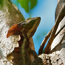 Brown Basilisk lizard