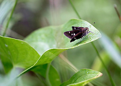 01 June 2015. Jean Lafitte National Historic Park, Louisiana.<br /> Small black moth, 'Desmia subdivisalis' in the swamp at the Barataria Preserve wetlands south or New Orleans.<br /> Photo©; Charlie Varley/varleypix.com