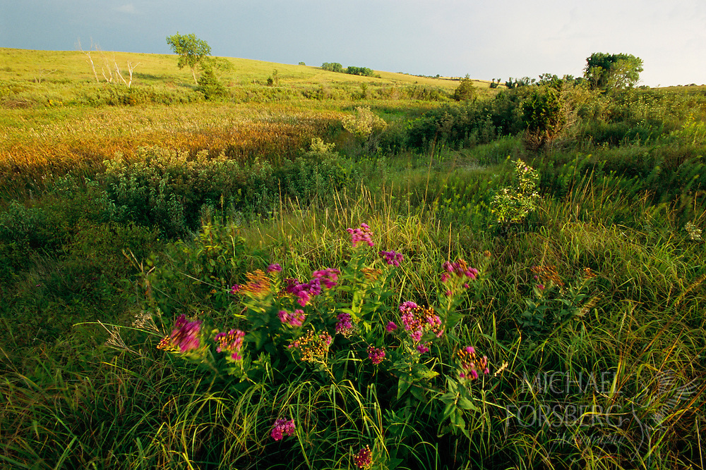 Western Ironweed sways in the wind at Audubon Spring Creek Prairie, Southeastern Nebraska.