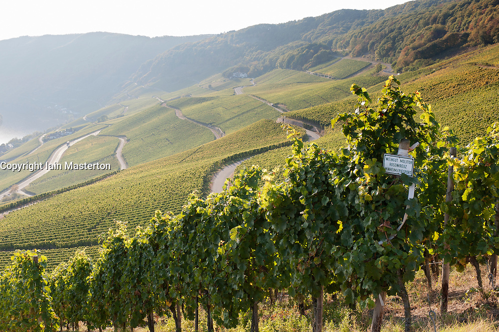 View of vineyards in late afternoon at Piesport  in Mosel Valley in Germany