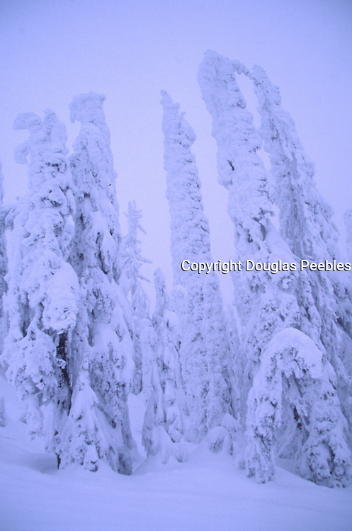 Evergreen in snow, Montana<br />