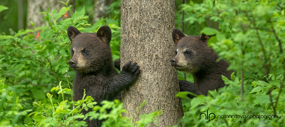 Black bear spring cubs in green leaves; ;  taken in wild in Minnesota.