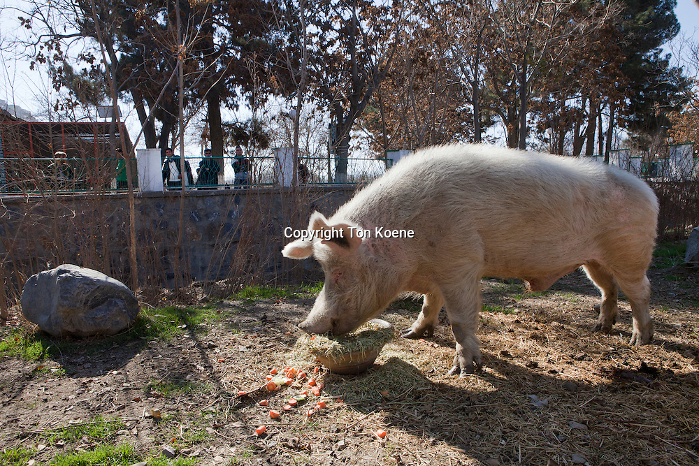 The only pig in the ZOO in Kabul, Afghanistan