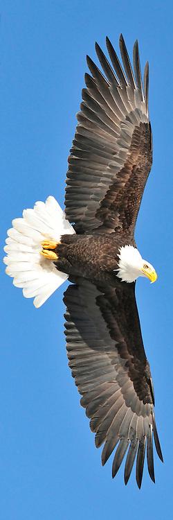 Bald Eagle in Eagle River, Alaska