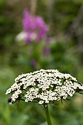 Flies on Yarrow wildflowers blooming at the McNeil River State Game Sanctuary on the Kenai Peninsula, Alaska. The remote site is accessed only with a special permit and is the world's largest seasonal population of brown bears in their natural environment.