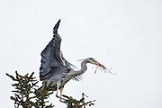 Gray Heron, with a branch in it's beek, attacked by mosquitoes | Gråhegre, med en gren i nebbet, blir angrepet av mygg.