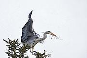 Gray Heron, with a branch in it's beek, attacked by mosquitoes | Gråhegre, med en gren i nebbet, blir angrepet av mygg.