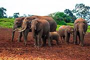 Juvenile African Bush Elephant (Loxodonta africana) as part of a herd