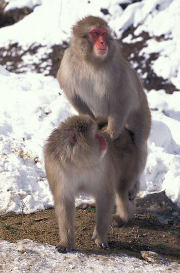Snow Monkey or Japanese Red-faced Macaque, (Macaca fuscata) Mating. Japan.