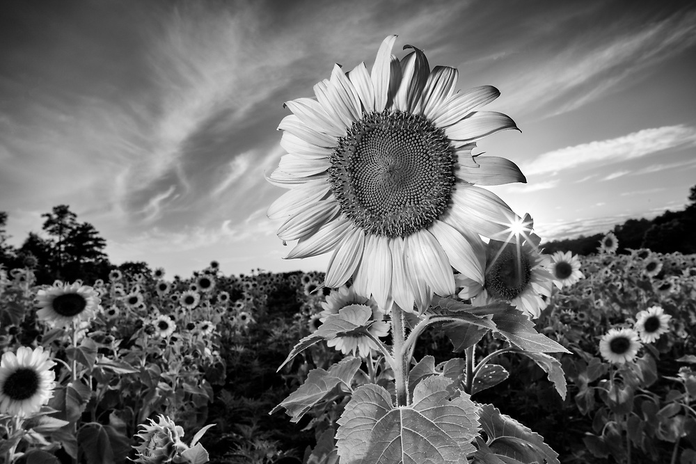 I captured this sunflower as just as the sun was setting behind it. This image won 1st place, Professional Black and White, in the Ward Museum of Wildfowl Art 2017 Art in Nature Photo Competition.<br />