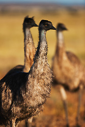 Close-up of a male emu (Dromaius novaehollandiae), the largest bird native to Australia, New South Wales,  Australia