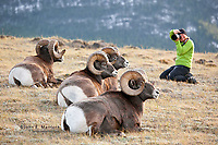 Photographing bighorn sheep, Jasper National Park, Alberta, Canada in the Canadian Rockies