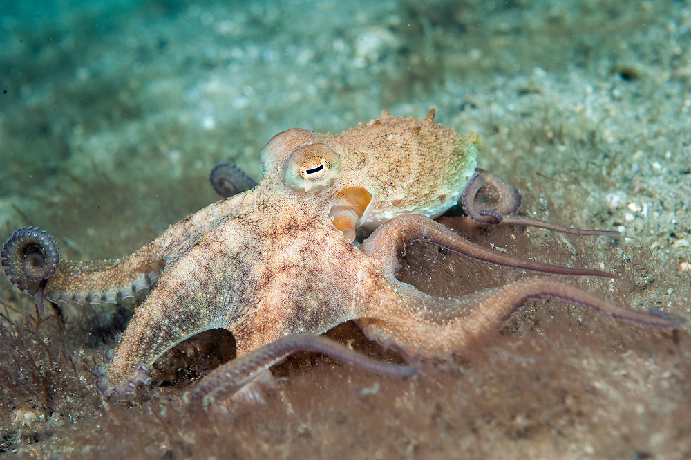 Atlantic Long Arm Octopus, Octopus defilippi,  crawls along the bottom of the Lake Worth Lagoon, Singer Island, Florida.