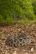 Eastern Diamondback Rattlesnake (Crotalus adamanteus)<br /> CAPTIVE<br /> The Orianne Indigo Snake Preserve<br /> Telfair County. Georgia<br /> USA<br /> RANGE: Southern United States