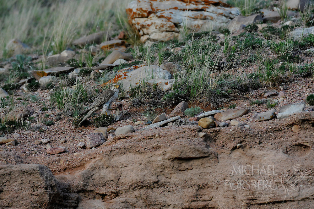 High Plains, shortgrass prairie region - Front Range, CO..Prairie falcon feeding chicks at nest under a small rock ledge in a ravine in middle of prairie....