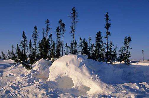 Polar Bear, (Ursus maritimus) Polar bear den. Wapusk National Park. Churchill, Manitoba. Canada.
