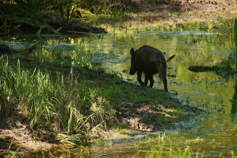 Lonely wild boar, Sus scrofa, Gornje Podunavlje Special Nature Reserve, Serbia