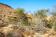 Israel, northern plains Negev desert, White weeping broom Retama raetam. A bush  native to arid areas in the middle east