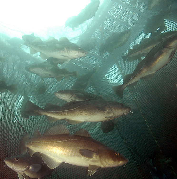 Atlantic Cod (Gadus morhua) in a fish farm. Location: Norway