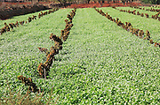 Valley farmland grapevines with red terra rosa soil, Lliber, Marina Alta, Alicante province, Spain