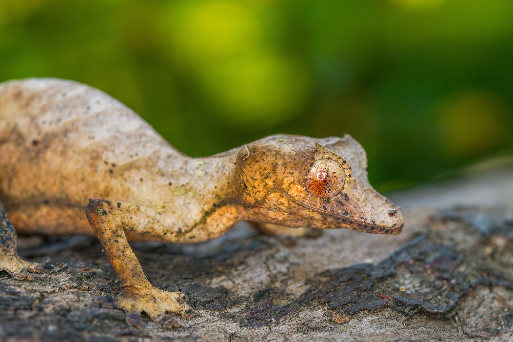 The Satanic Leaf-tailed Gecko (Uroplatus phantasticus) is endemic to Madagascar. It is an arboreal species that relies on its natural camouflage in the northern and central tropical forests of Madagascar.