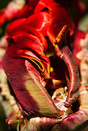 The bright red flame colored petals of a parrot tulip curl into surreal shapes