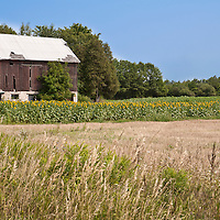 A field of sunflowers in front of an old, abandoned barn