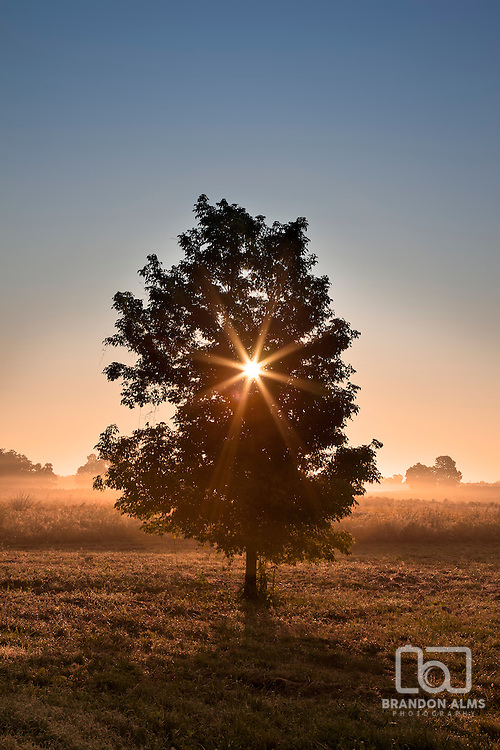 The sun bursts through a single tree at sunrise in front of a foggy field of wildflowers.