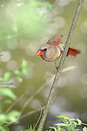 Northern Cardinal, Female, She Sees What She Wants, Cardinalis cardinalis,