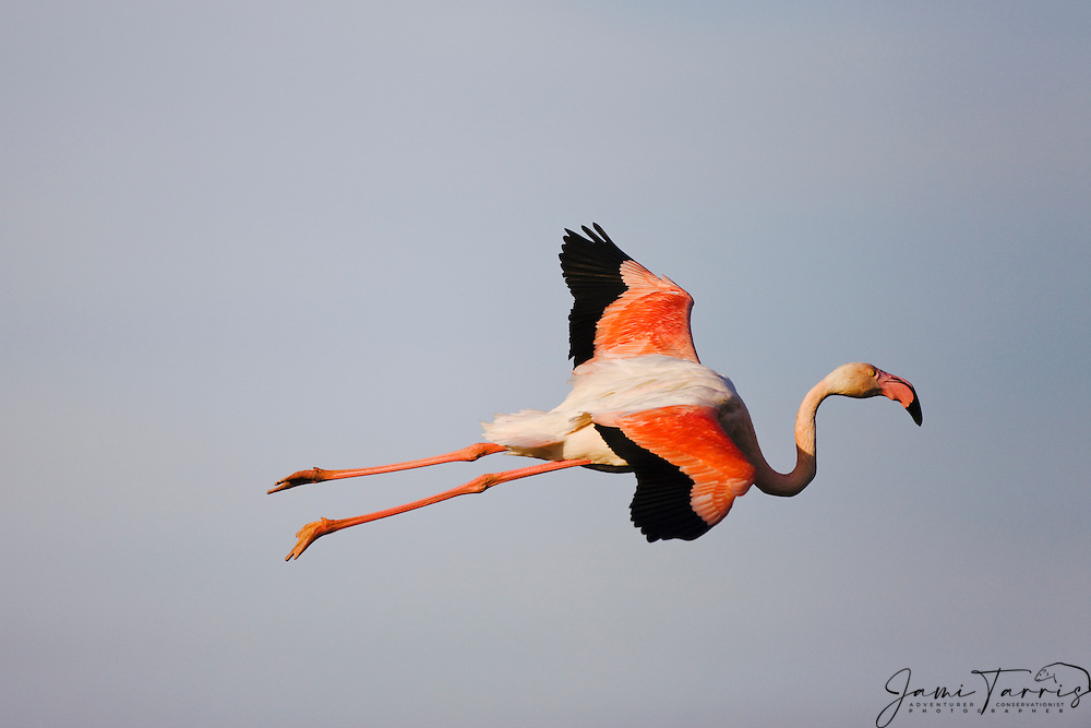 Greater flamingo (Phoenicopterus ruber) in flight, Le Camargue, Provence, France