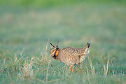 Male Greater Prairie Chicken Booming on Lek (Dancing ground) to attract a mate.