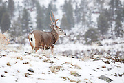 A wild mule deer at the base of the Sierra Nevada Mountains in the dead of winter