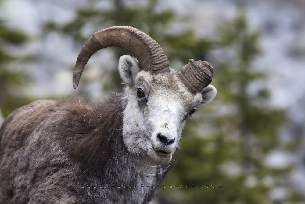 Stone Sheep with one horn, Ovis dalli stonei