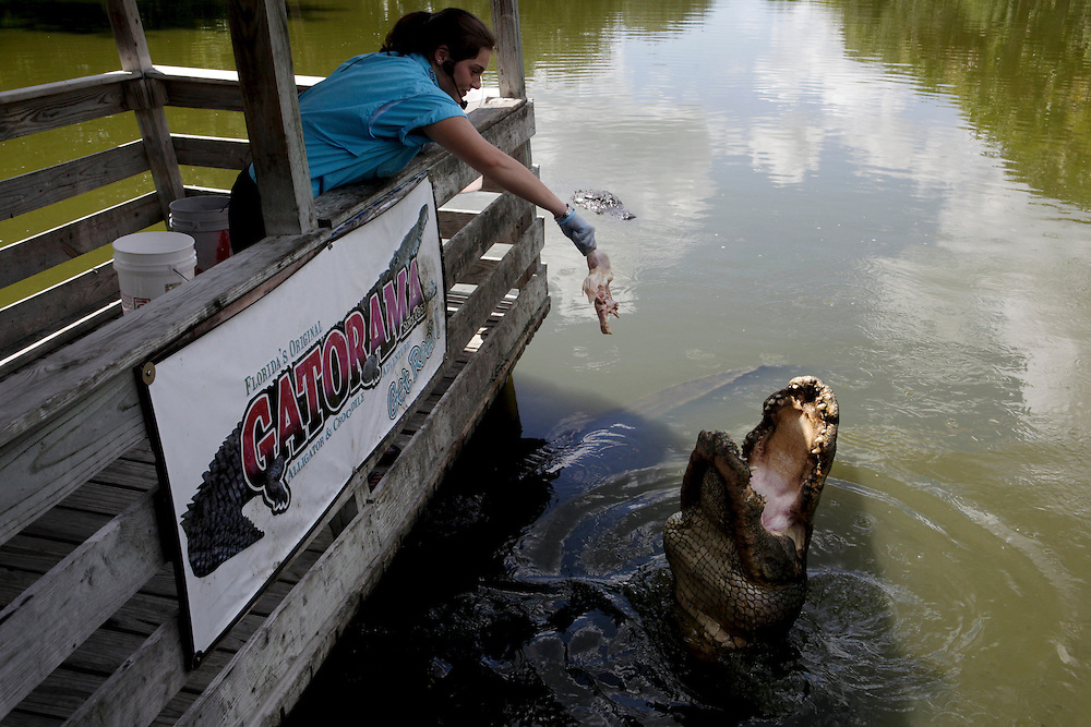 "Alligator trainer Bridgette Adams, left, feeds one of the dozens of alligators during the feeding show at Gatorama, an alligator farm and tourist destination in Palmdale, Fla. on Sept. 11, 2010. Bridgette, who is engaged to the owner's son, used to train other sea animals before coming to Gatorama. ""It took me a while to warm up to the idea,"" Adams said. Greg Kahn/Staff"