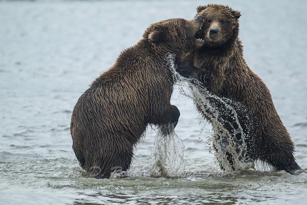 Alaskan brown bear sub-adults sparring