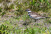 Killdeer walking through the grass and showing its bright red eye