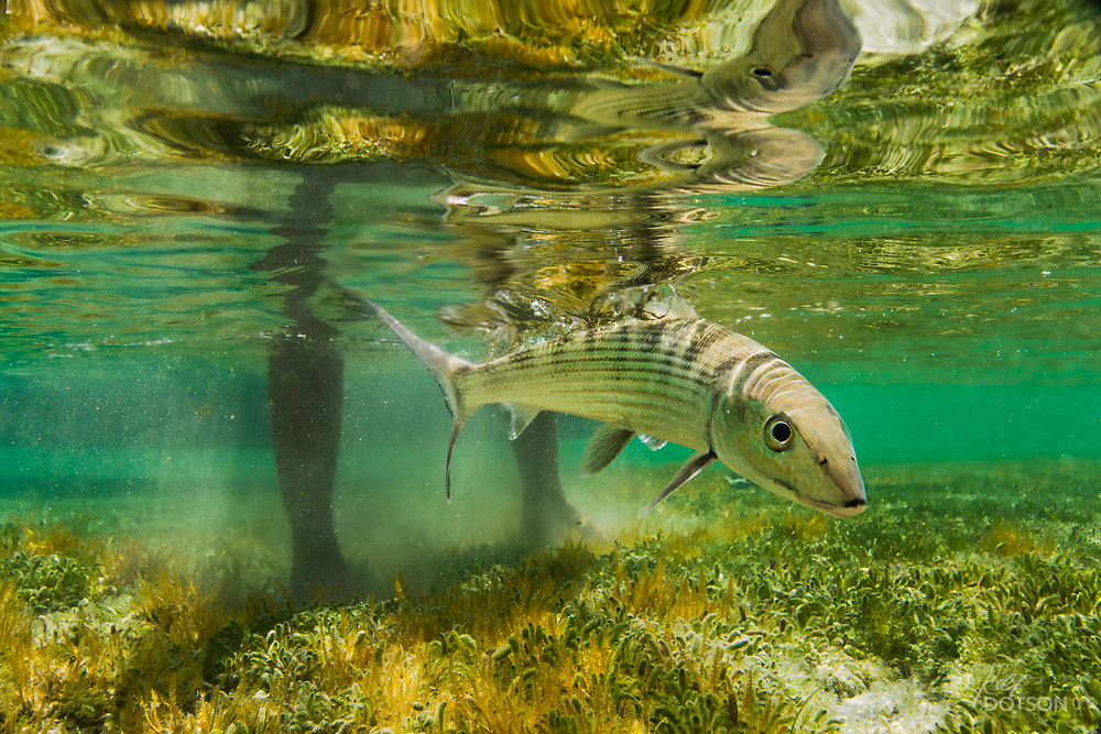 A nice capture of an escaping bonefish outside of San Pedro.