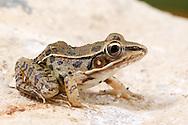 Southern Leopard Frog (Rana (Lithobates) sphenocephala)<br /> United States: Alabama: Tuscaloosa Co.<br /> Tulip Tree Springs off Echola Rd.; Elrod<br /> 15-Jul-2016<br /> J.C. Abbott #2845