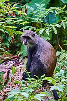 Tanzanie, archipel de Zanzibar, île de Unguja (Zanzibar), forêt de Jozani, singe bleu ou cercopitheque à diadème // Tanzania, Zanzibar island, Unguja, Jozani forest, blue monkey or diademed monkey