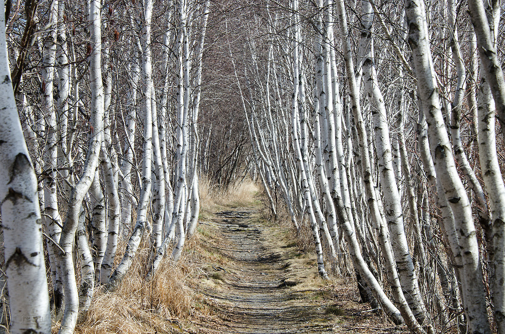 White Paper Birch trees line the Hemlock Trail in Acadia National Park, Maine.