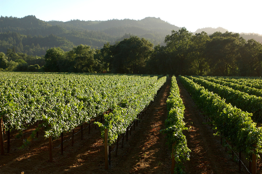 Vineyards near Napa, Napa Valley, California, United States of America