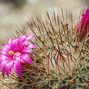 Cactus detail os flowers.