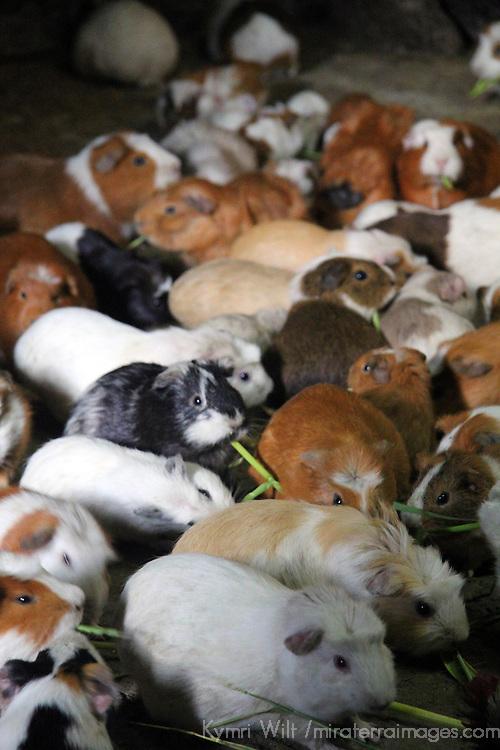 South America, Peru, Ollanta. Guinea Pigs populate kitchen floors in Ollanta, Peru.
