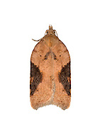 49.066 (1038)<br /> Acleris laterana