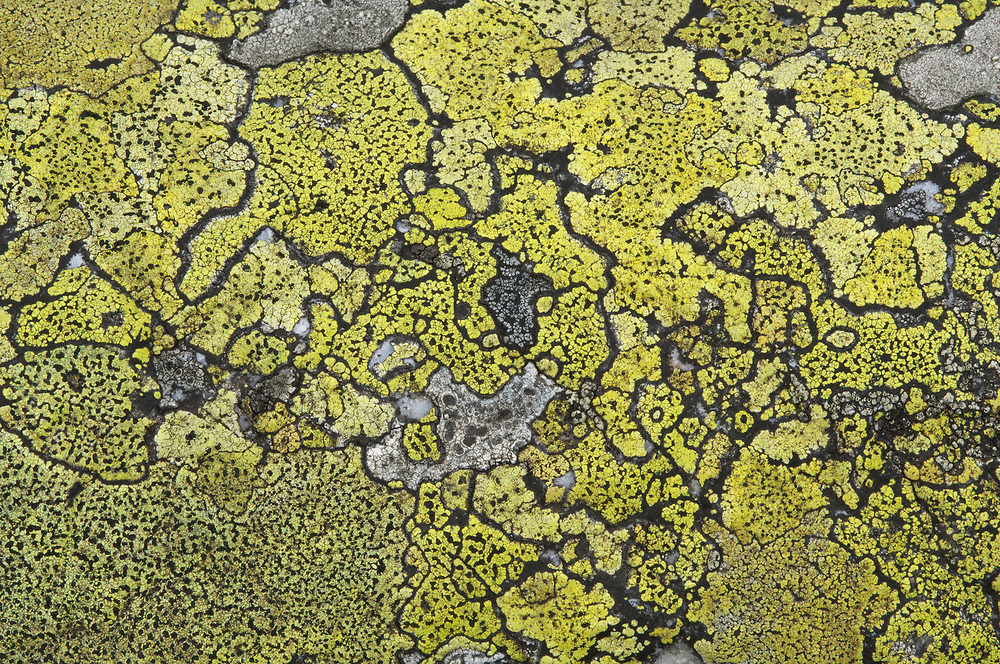 Lichen on stone, Laponia World Heritage Area, Lapland, Sweden