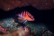 Hypoplectrodes igneus (Kermadec halfbanded perch)