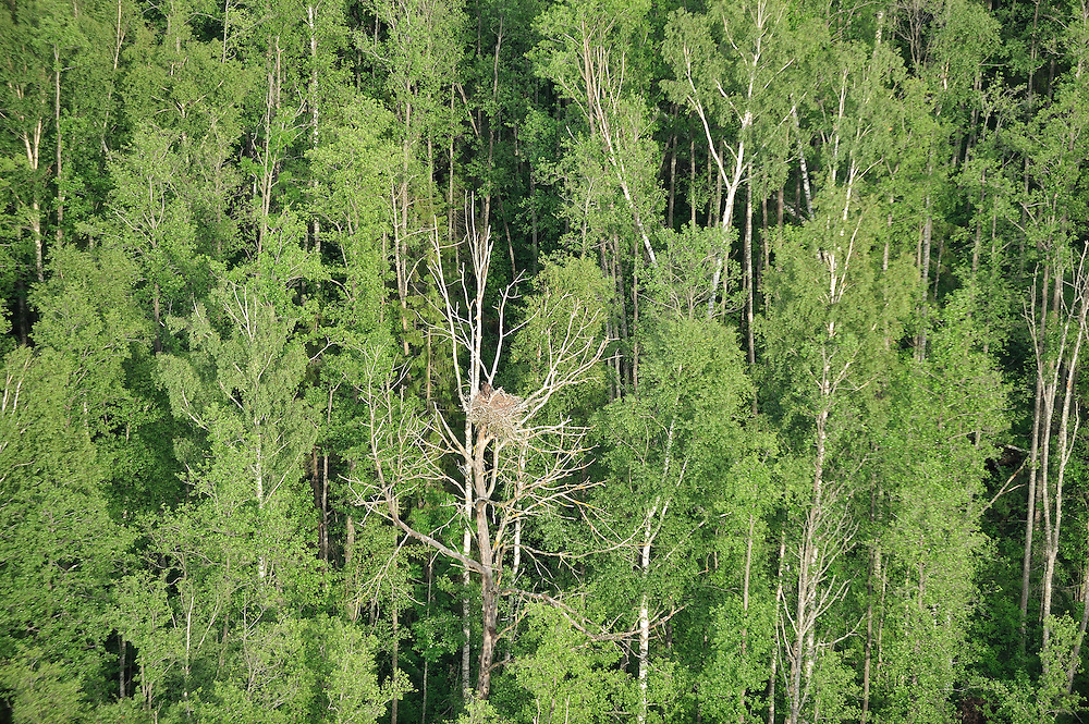 Golden eagle nest, Kemeri National Park, Latvia