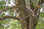 Gray fox pup climbing a tree